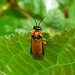 Small photo of Turnip Sawfly. Anthalia rosae. Tenthredinidae