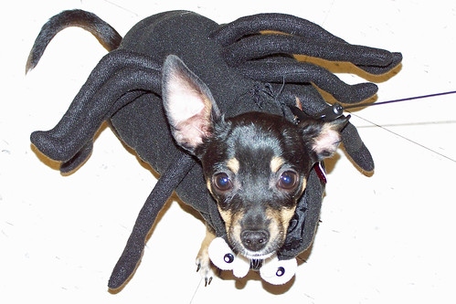 Pet halloween costume, Spider Angus