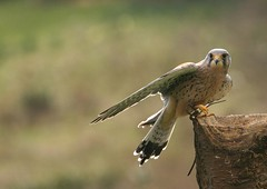 harrier(0.0), animal(1.0), hawk(1.0), bird of prey(1.0), falcon(1.0), wing(1.0), fauna(1.0), close-up(1.0), buzzard(1.0), accipitriformes(1.0), beak(1.0), bird(1.0), wildlife(1.0),