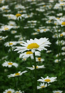 The Joy of Daisies