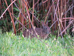 marsh rabbit posing two