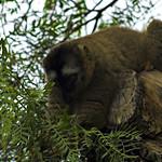 ¿Lemur mangosta? II - Bioparc Valencia