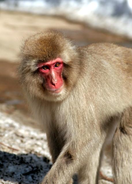 Snow Monkey - Jigokudani Yaenkoen Park - Nagano - Japan