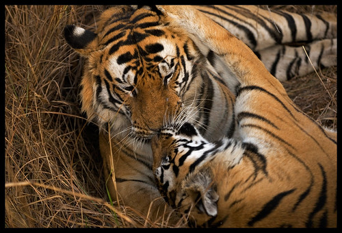KISS OF TIGERS