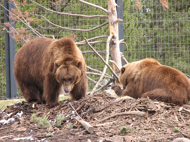 grizzly bears at the Grizzly Discovery Center in West Yellowstone, MT