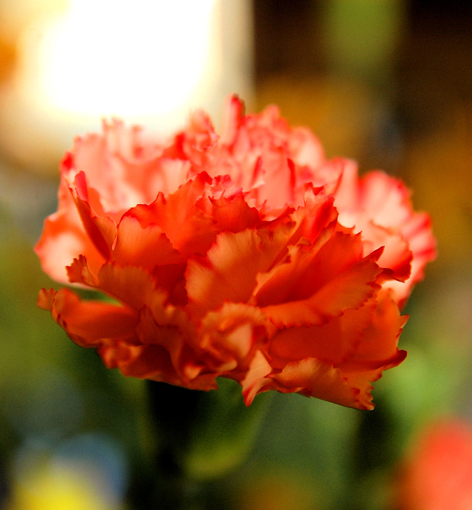 A Carnation for You
