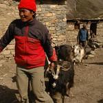 Nepali Man with Goat - Annapurna Circuit, Nepal