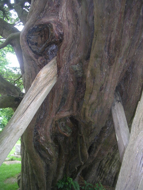 Old yew - Wilmington