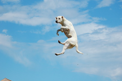 Now THIS is a Big Jumping Dog!