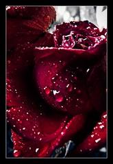 Sexy Rose