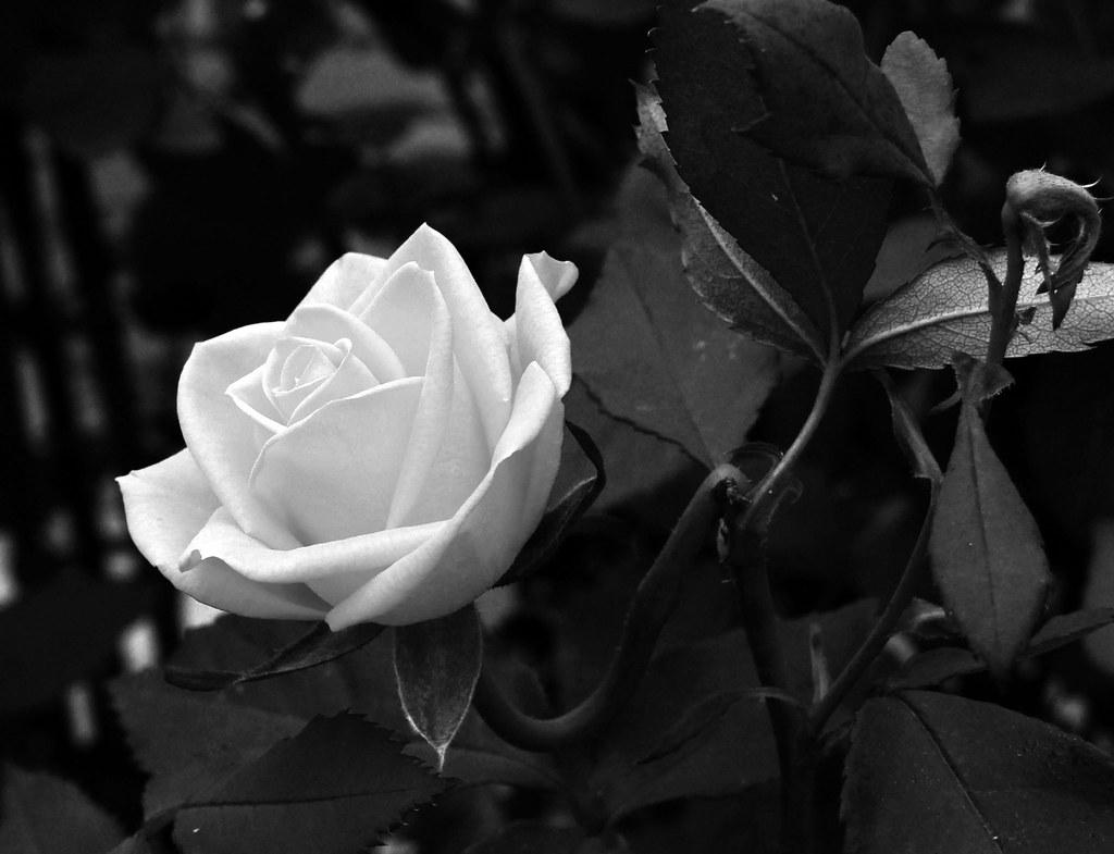 Rosa Blanco Y Negro Alfredo Castillo Tato Fredy Flickr