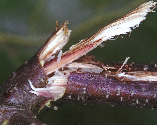 cicada eggs - photo #21
