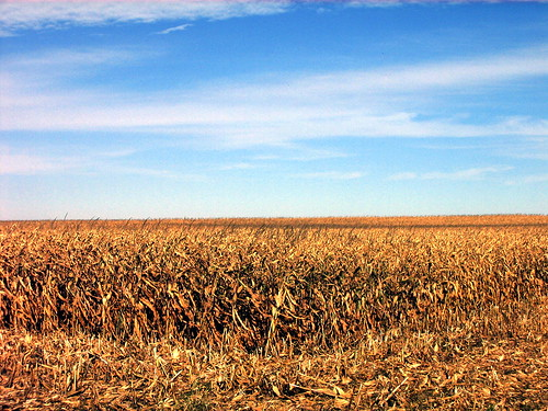 Corn Field Open for a Minnesota Harvest