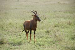 animal, prairie, mammal, hartebeest, grazing, fauna, pasture, grassland, wildlife,