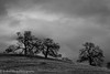Oaks in Monochrome, Hornitos Road (Sierra Foothills)