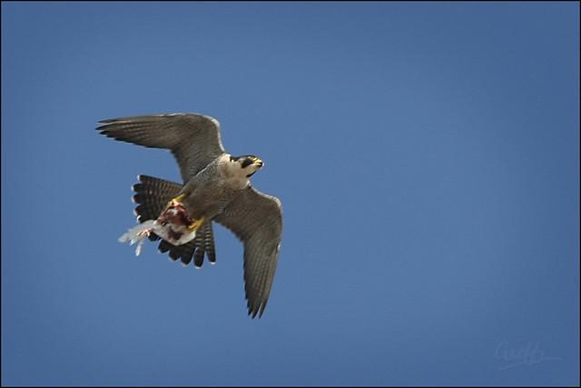 Falconiformes. sub Falconidae - sub fam Falconinae - gênero Falco - Página 2 2400018781_7d821165f6_z