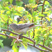 Lucy's Warbler - Photo (c) Jerry Oldenettel, some rights reserved (CC BY-NC-SA)