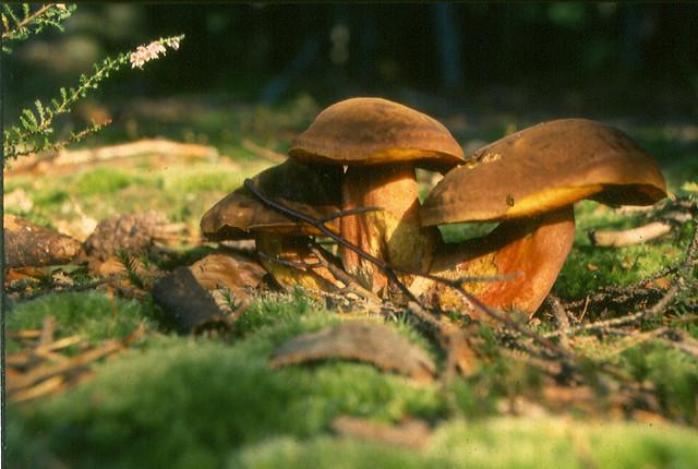 champignons Cévennes