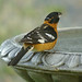 Grosbeak Drinking