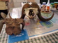 Fossilized & Bone Musk Ox Skulls by Travis S.