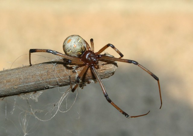 Brown Black Widow Black (Brown) Widow | ...