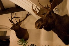 antler, deer, trophy hunting, moose, fauna,