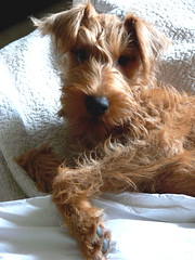 australian silky terrier(0.0), morkie(0.0), australian terrier(0.0), cockapoo(0.0), cavapoo(0.0), yorkshire terrier(0.0), dog breed(1.0), animal(1.0), dog(1.0), schnoodle(1.0), pet(1.0), norfolk terrier(1.0), welsh terrier(1.0), carnivoran(1.0), terrier(1.0),