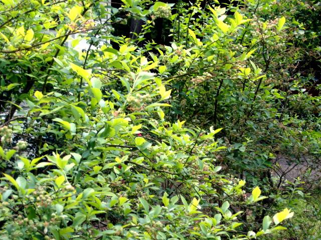 Mature Blueberry Plants 82