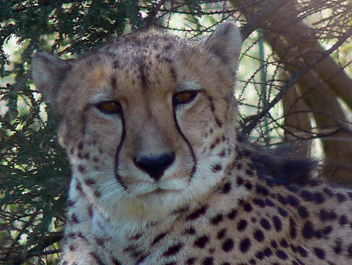 A Thinking Cheetah