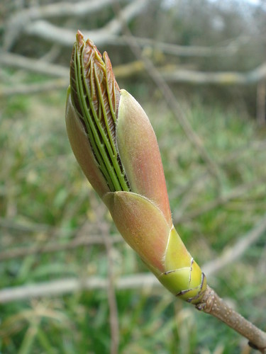 Sycamore in Bud