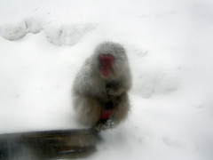 animal(1.0), monkey(1.0), winter(1.0), white(1.0), snow(1.0), mammal(1.0), japanese macaque(1.0), old world monkey(1.0),