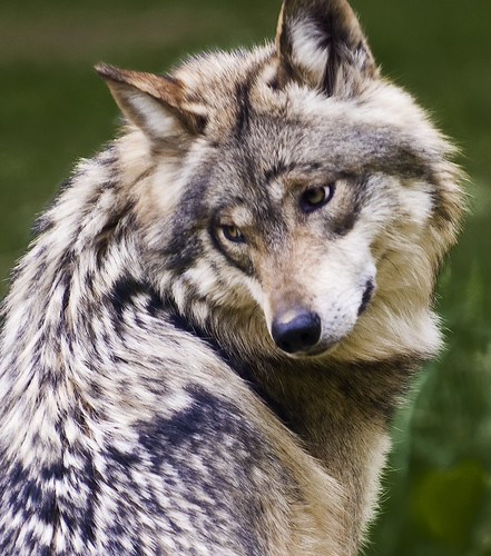 Mexican Wolf (endangered status: critical) by ѕhadowdancer