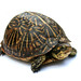 Florida Box Turtle - Photo (c) Jon Zander, some rights reserved (CC BY-NC-SA)