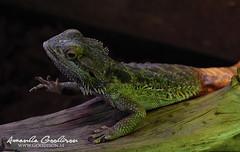 Bearded dragon2