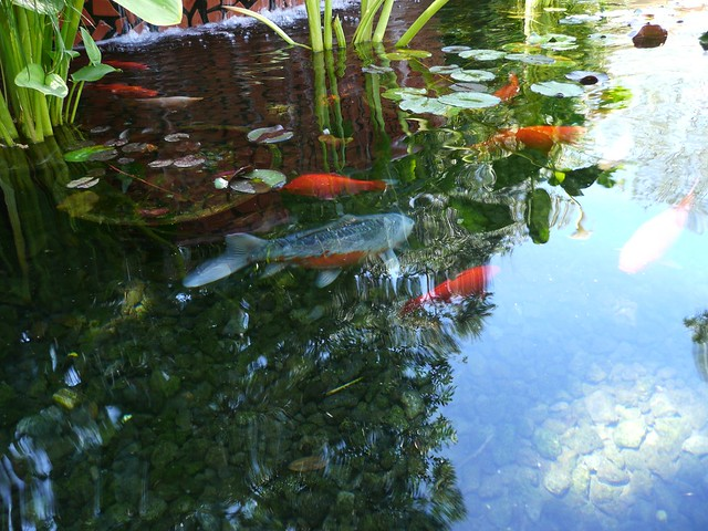 Sunlit koi pond explore crow bead 39 s photos on flickr for Koi fish to pond ratio