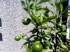 calamondin, citrus, branch, plant, flora, green, fruit, bitter orange,