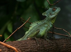 animal, reptile, lizard, macro photography, green, fauna, african chameleon, dactyloidae, iguana, scaled reptile, wildlife,