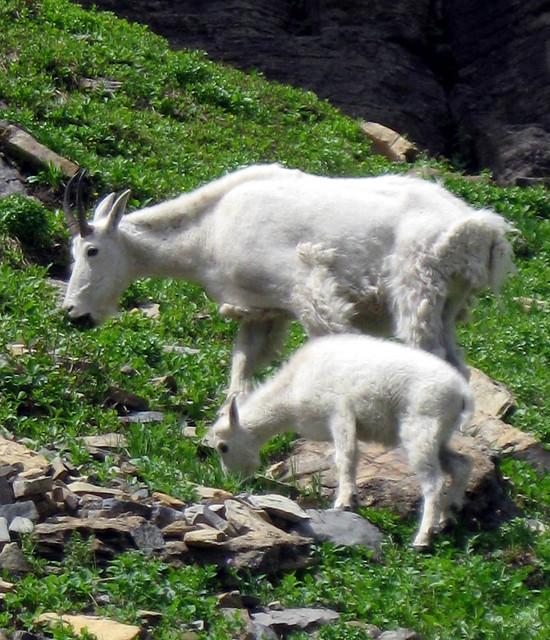 Mountain Goat with Kid, Glacier National Park, Montana wildlife - a ...