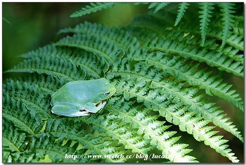 台北树蛙5图片