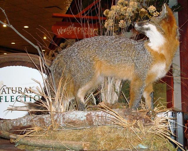 Coydog Nh: Header Of Coyote