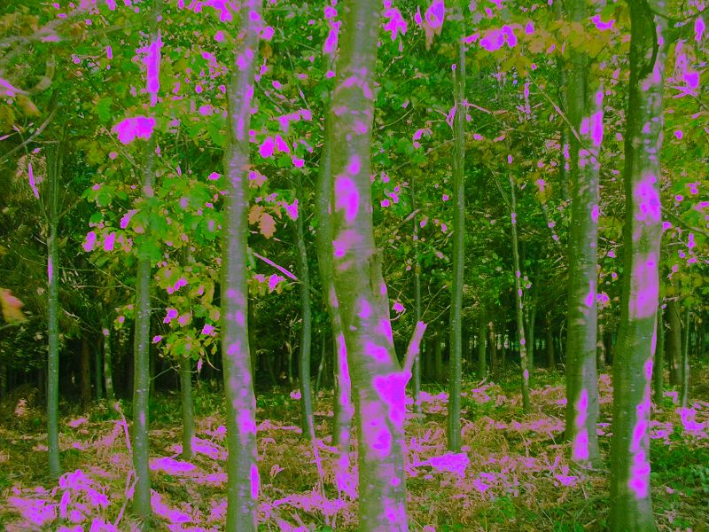 Purple trees courtesy of purplecam. Cowden to Eridge