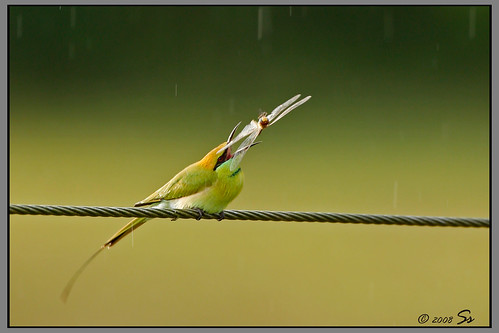 Bee eater with drangonfly
