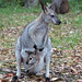 Red-necked Wallaby
