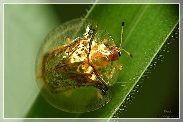 Фото золотого жука