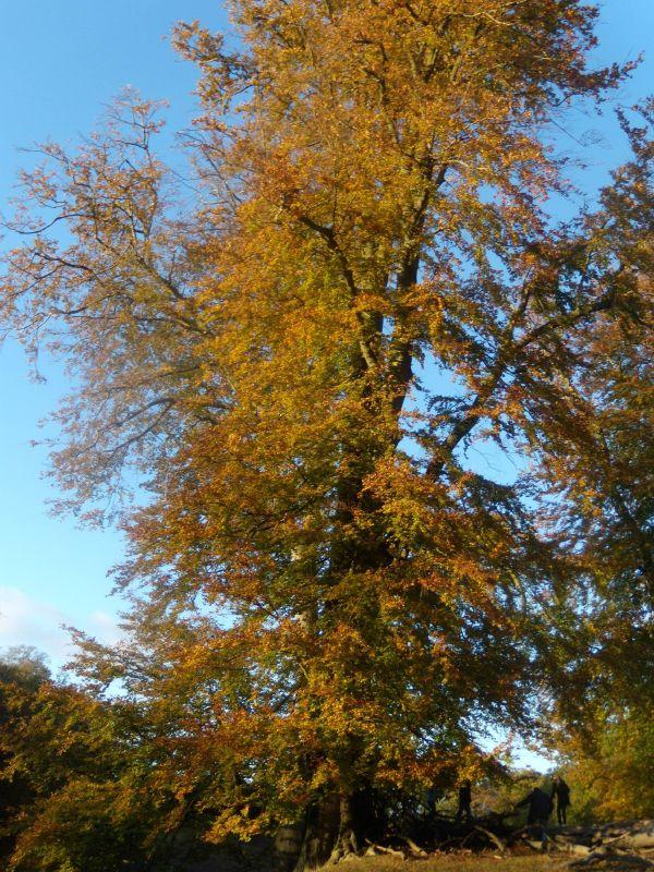 Colourful beech Sevenoaks Circular