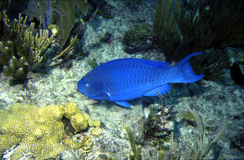 Blue parrotfish photographed  in the Florida Keys.