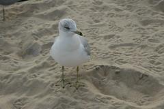 Sea Gull 025