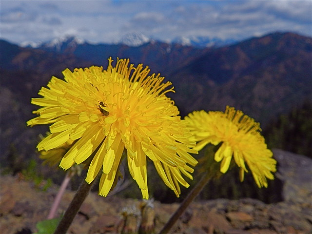 Header of Alpine Dandelion