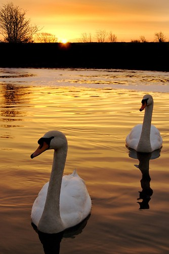orange sun water yellow sunrise reflections river explore swans orangesunrise ysplix goldstaraward