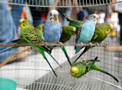 lovebird(0.0), lorikeet(0.0), animal(1.0), parrot(1.0), pet(1.0), fauna(1.0), parakeet(1.0), common pet parakeet(1.0), beak(1.0), bird(1.0),